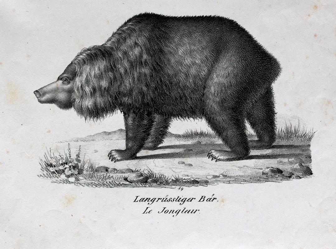 Braunbär Rüssel Bear Bär Fell Schnauze Anatomie Ours Orso Pranke Paw ...