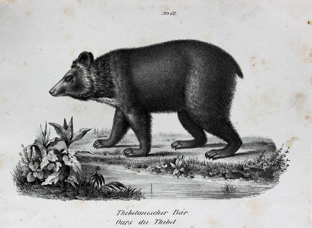 Tibet Bär Fell Braunbär Anatomie Körperbau Tibetan Blue Bear Ours ...